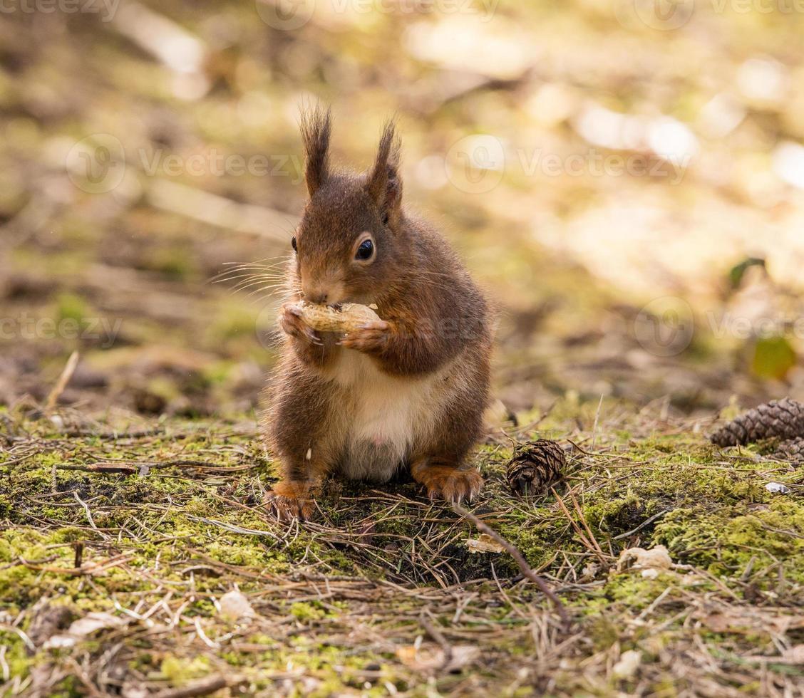 écureuils roux photo