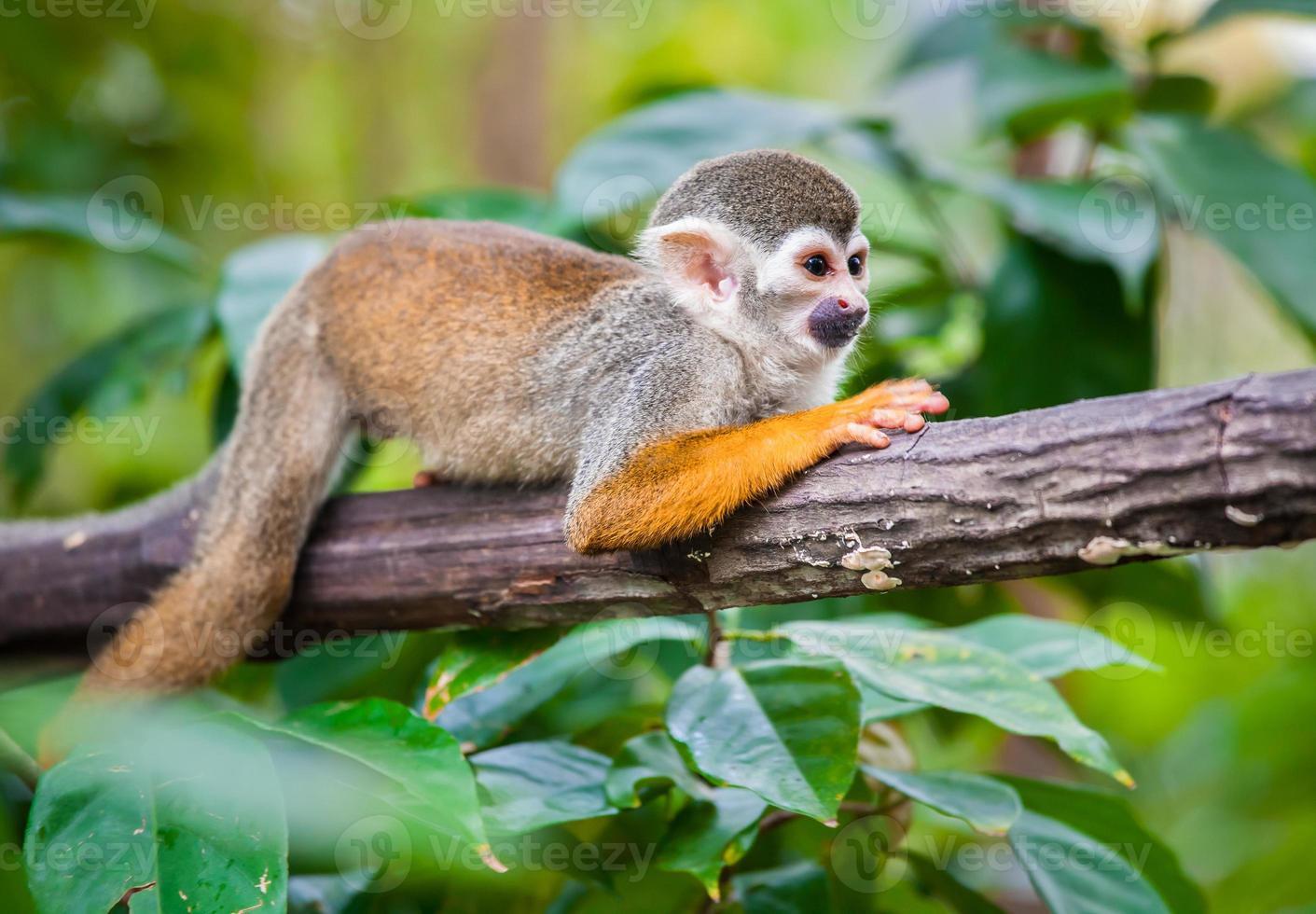 écureuil singe photo