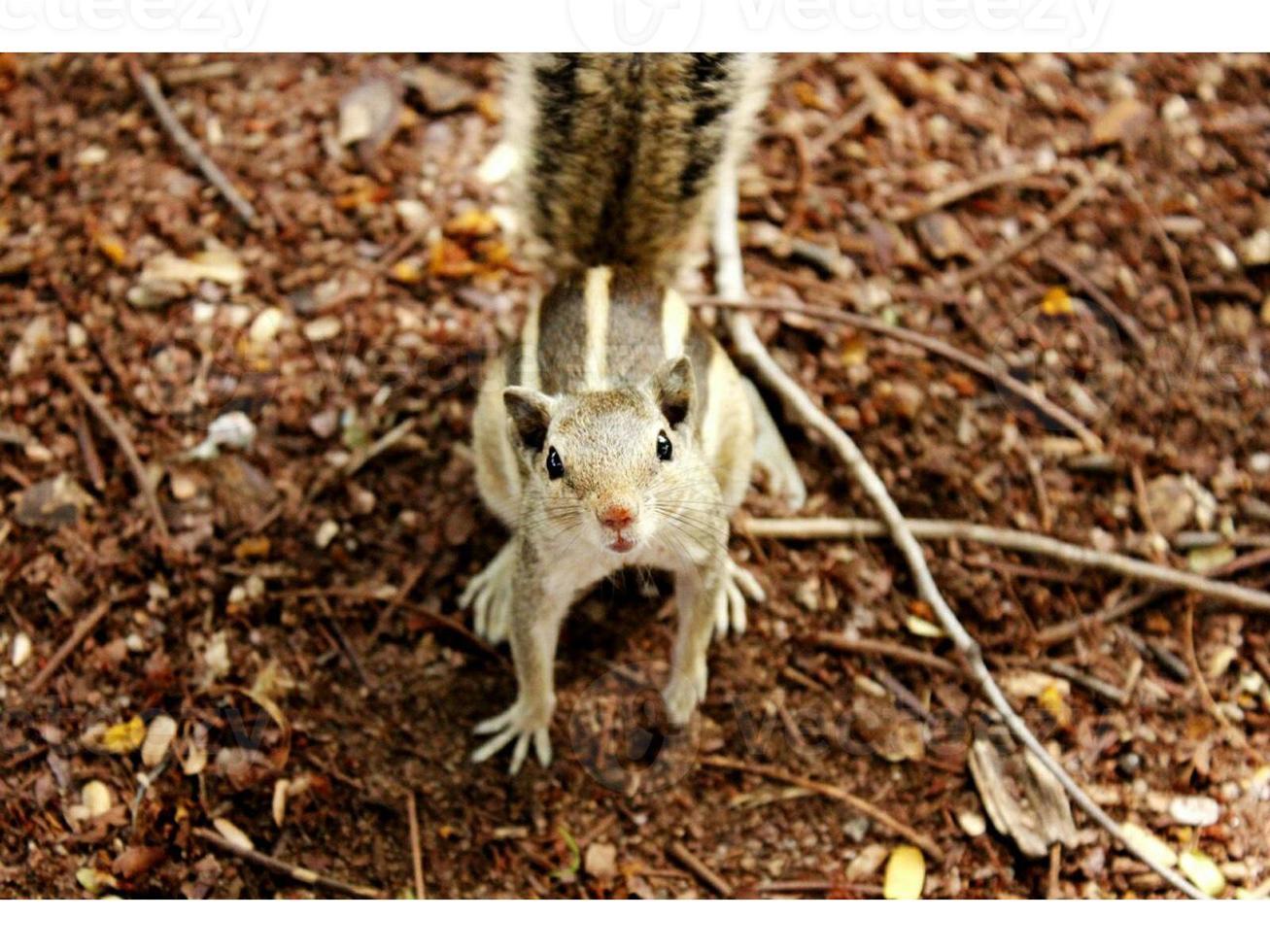 écureuil asiatique photo