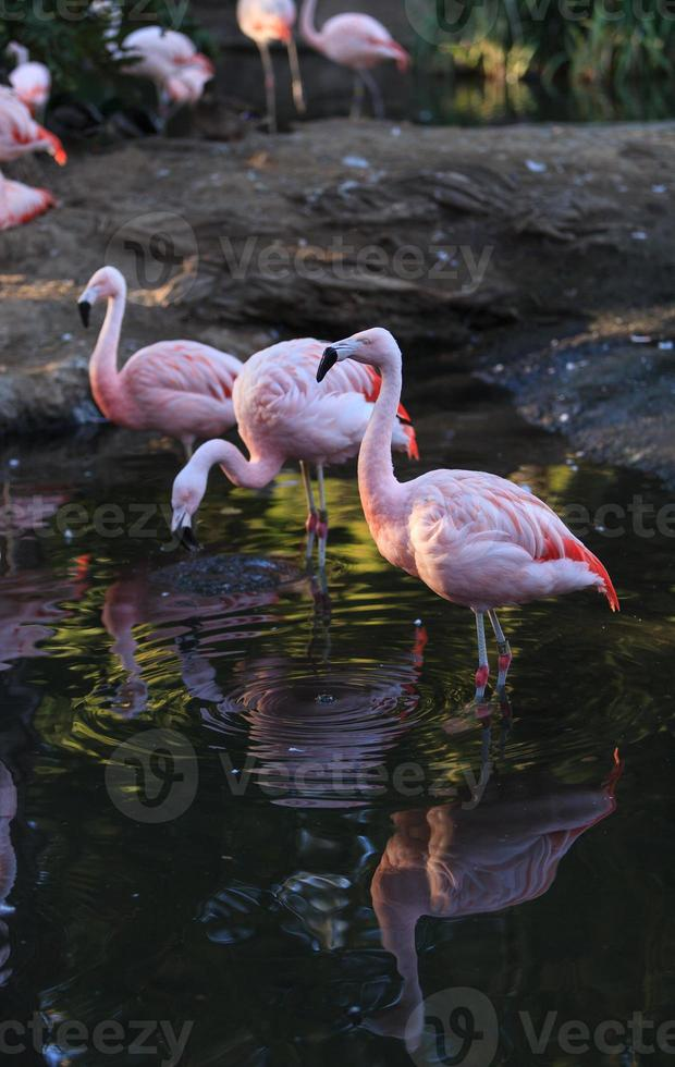 flamants chiliens, Phoenicopterus chilensis photo
