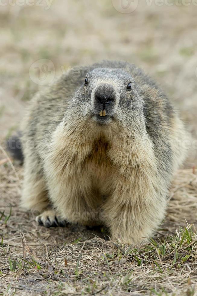 portrait de marmotte photo