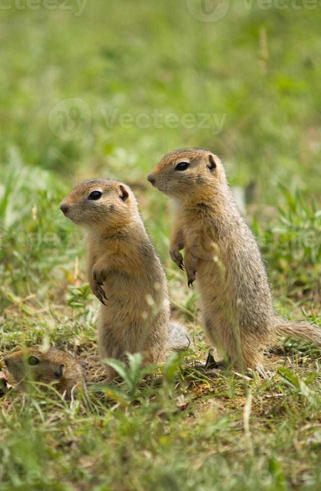 deux écureuils terrestres vigilants photo