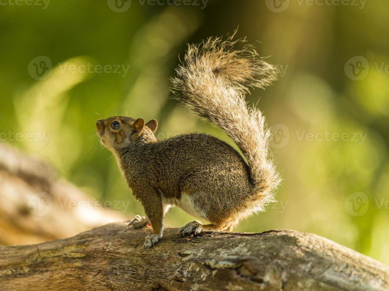 écureuil gris (sciurus carolinensis) photo