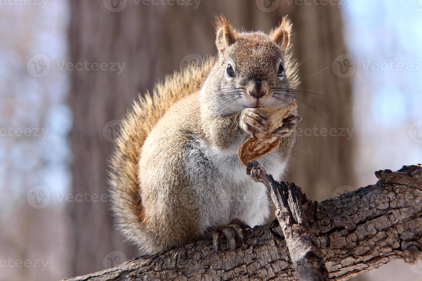 écureuil roux sur branche photo
