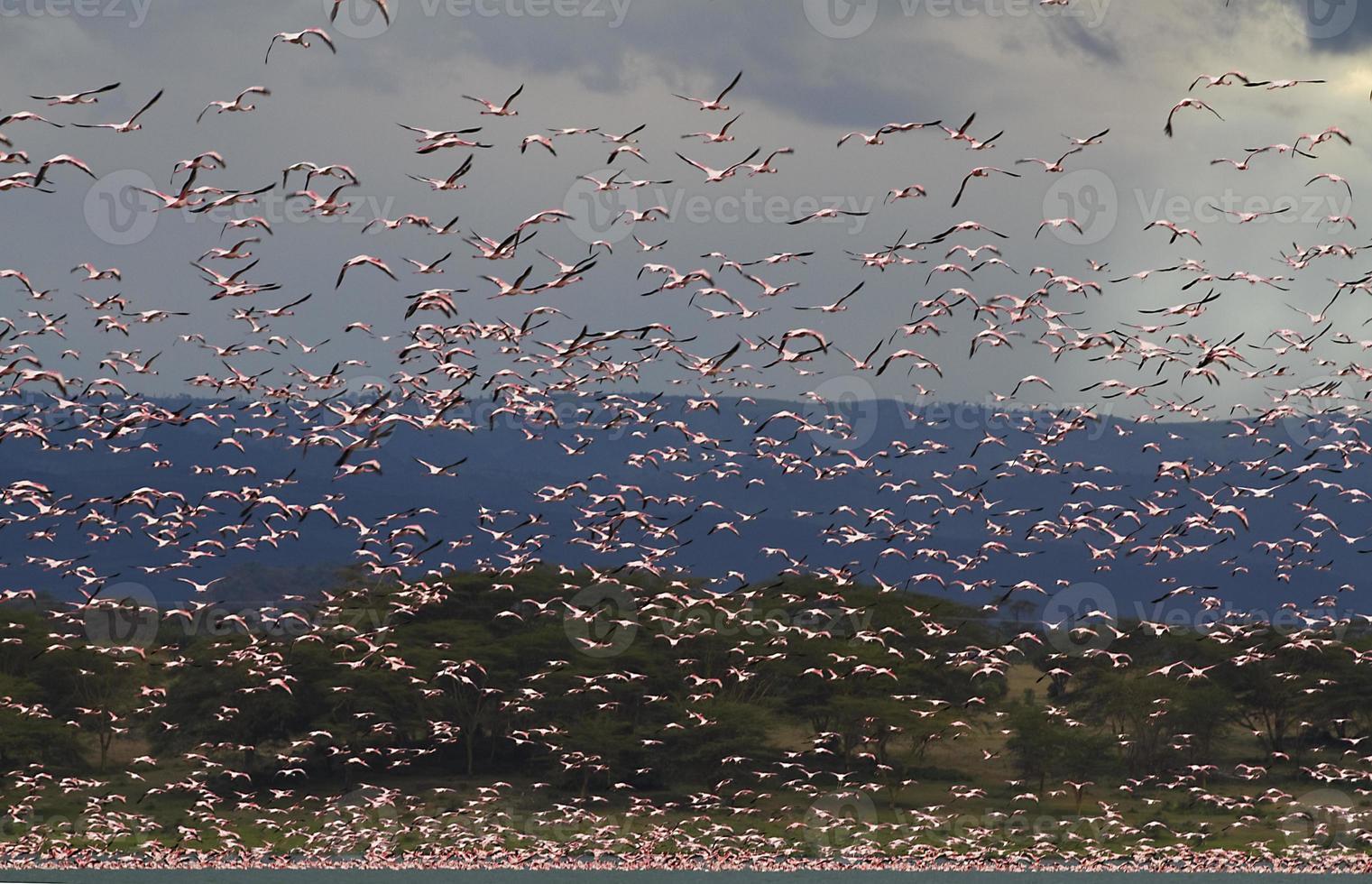 Grand groupe de flamants roses dans le lac Oleden, Kenya photo