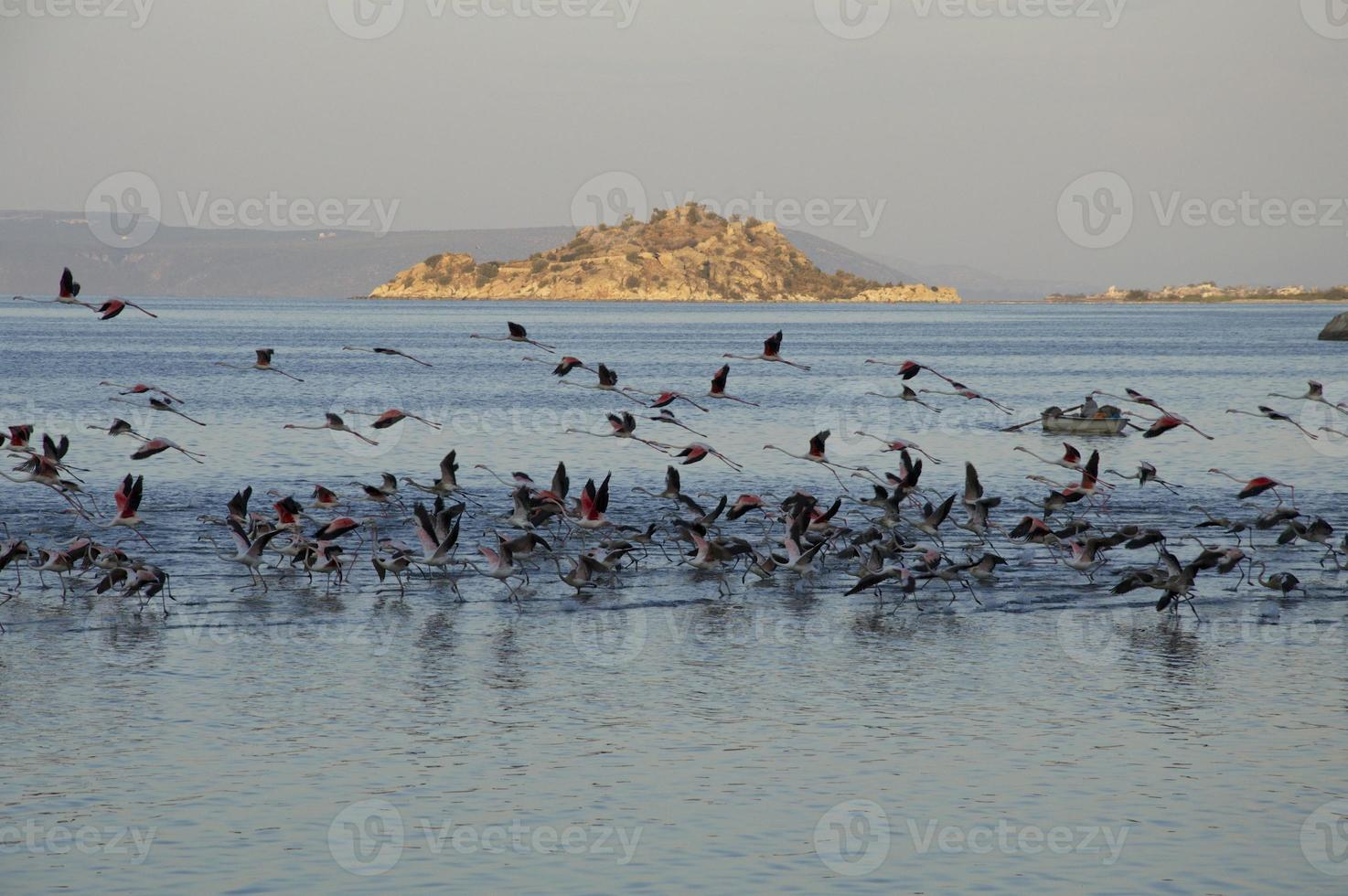 flamants roses migrateurs photo