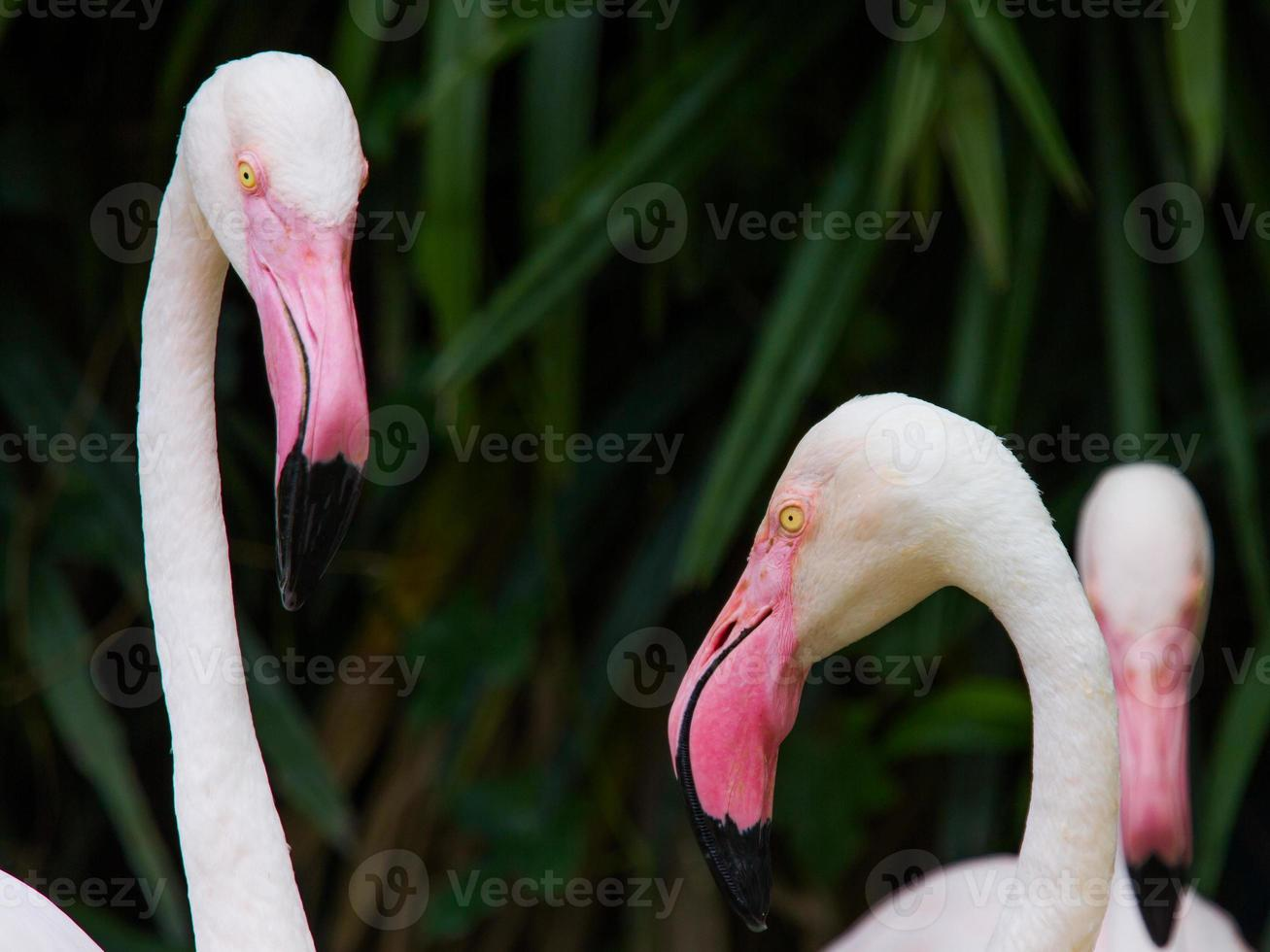 oiseau flamant rose. photo