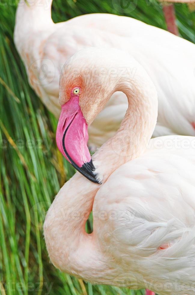 détail flamant rose photo