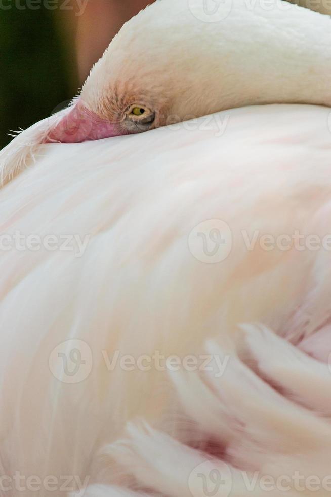 oiseau flamant rose. photo