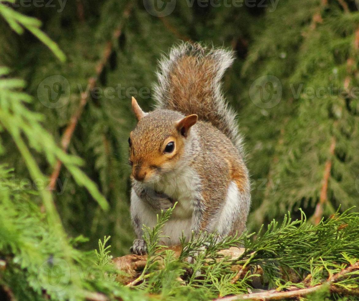 écureuil gris assis dans un arbre. photo