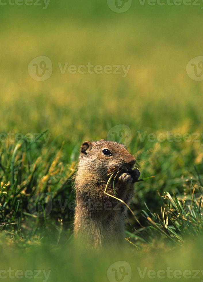 Uinta écureuil moulu se nourrissant photo