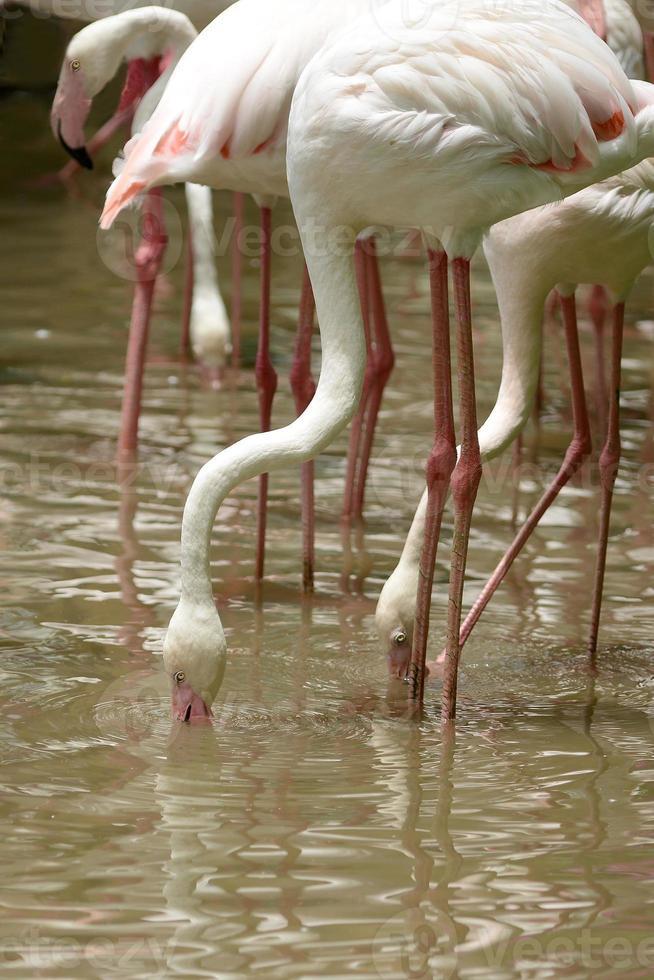 groupe de flamants roses dans l'étang photo