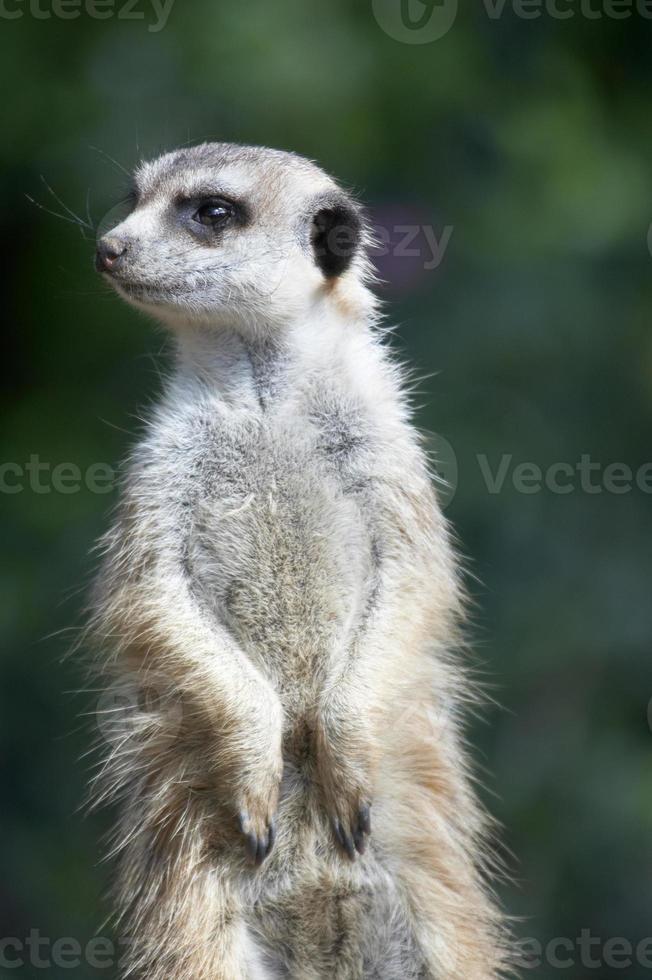 suricate à l'affût photo