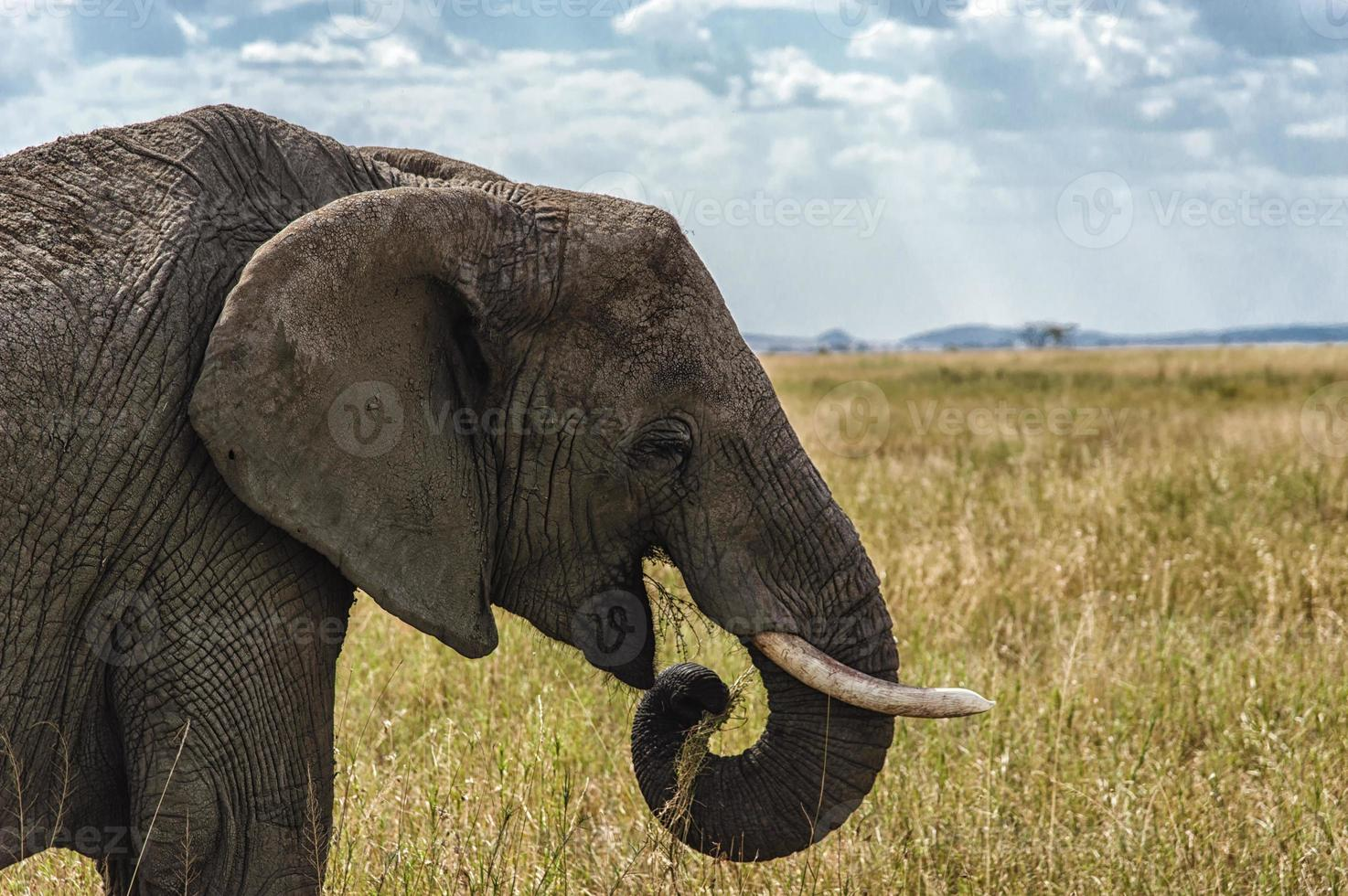 éléphant mangeant photo
