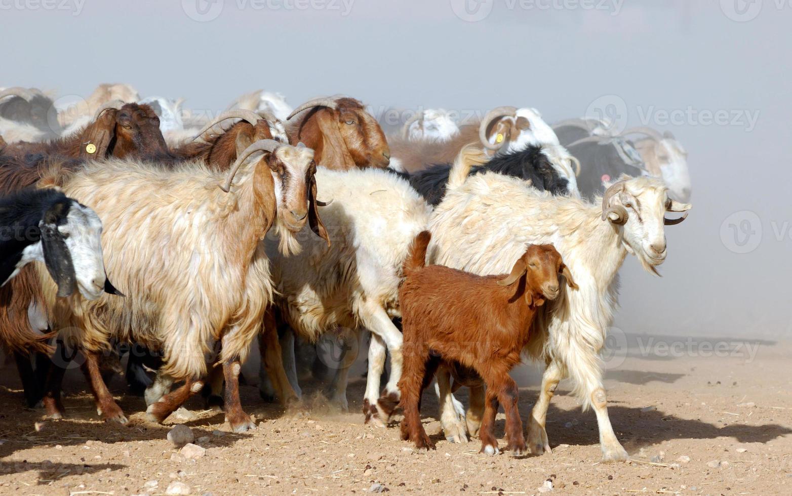 moutons et chèvres photo