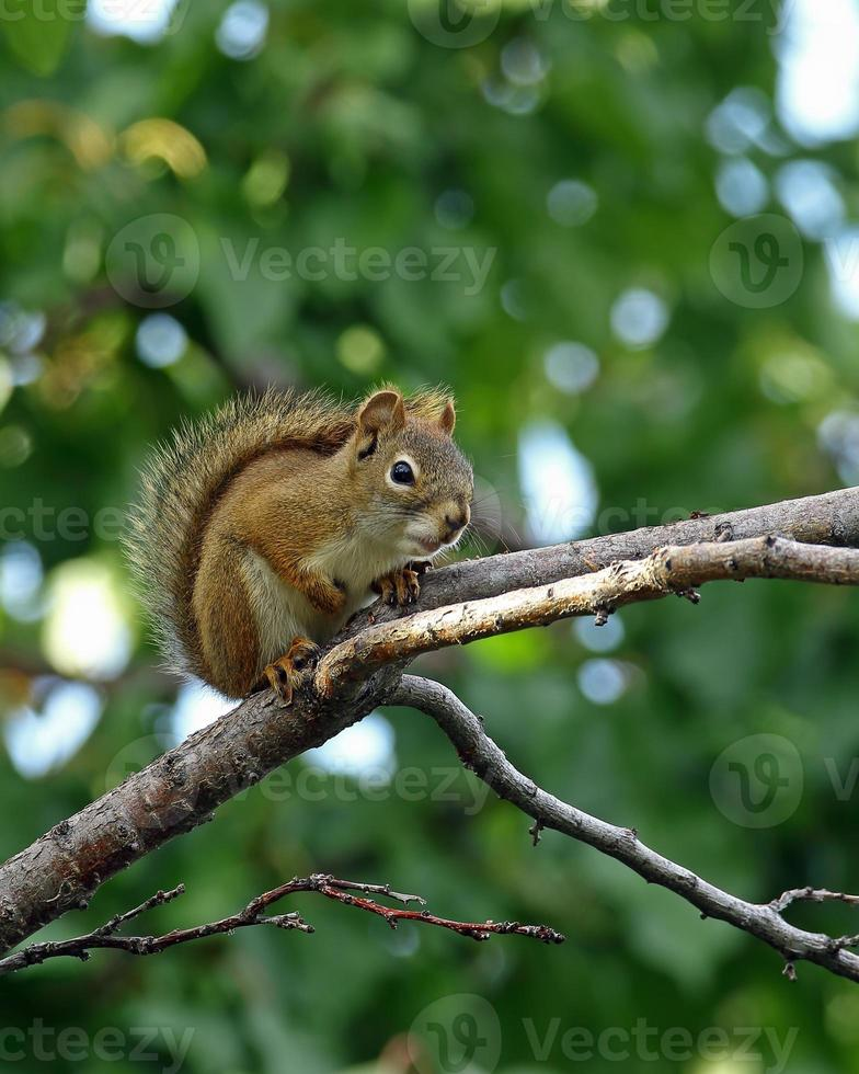 écureuil rouge format vertical photo