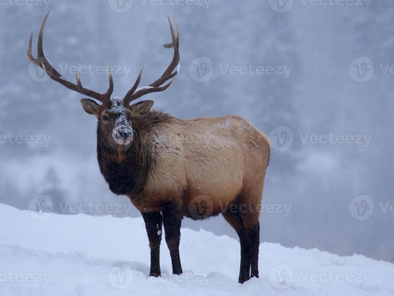 un grand mâle wapiti dans les montagnes rocheuses enneigées photo
