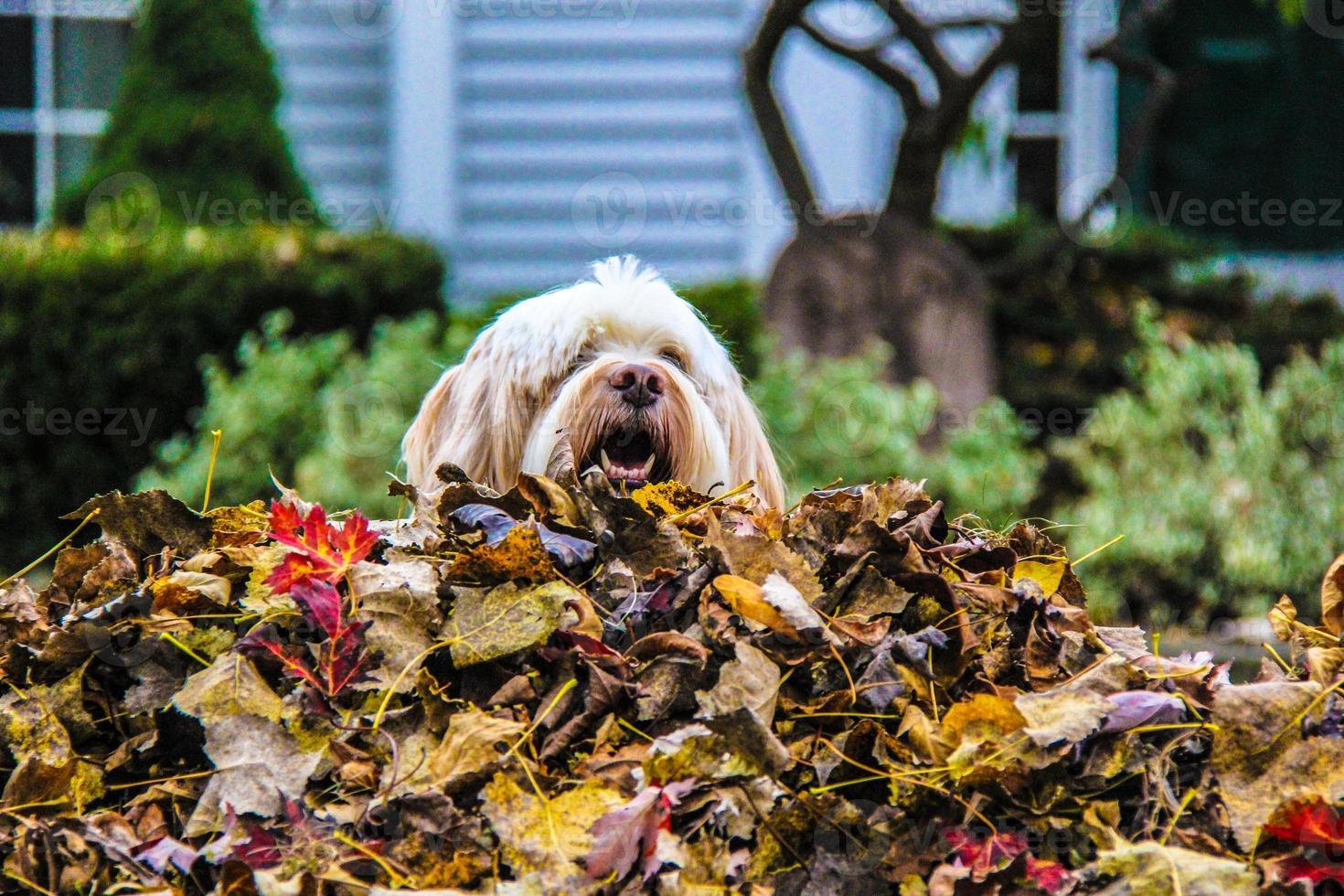 je culmine sur le tas de feuilles photo