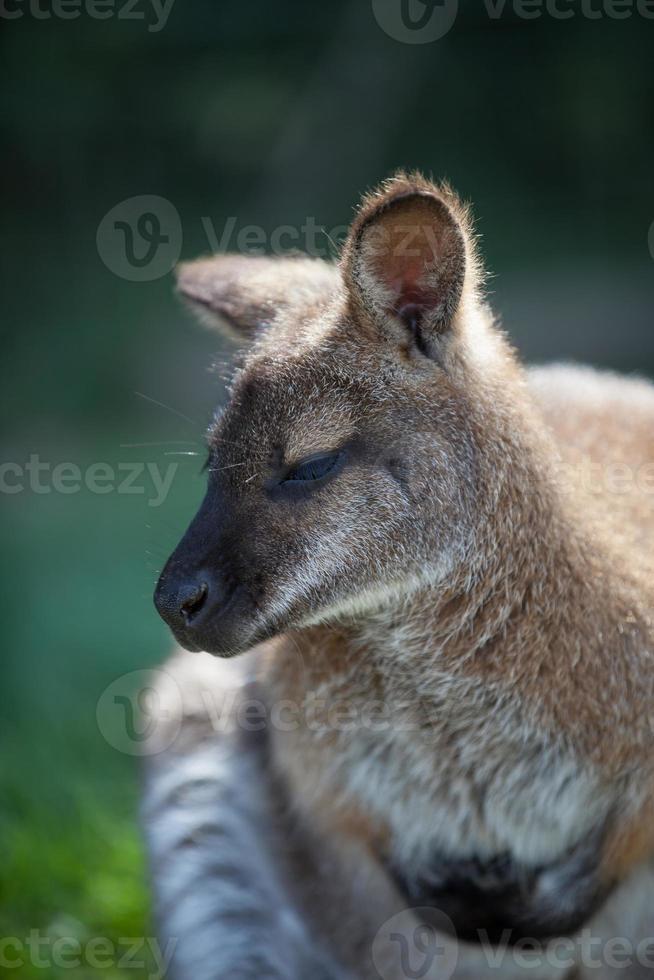 wallaby photo