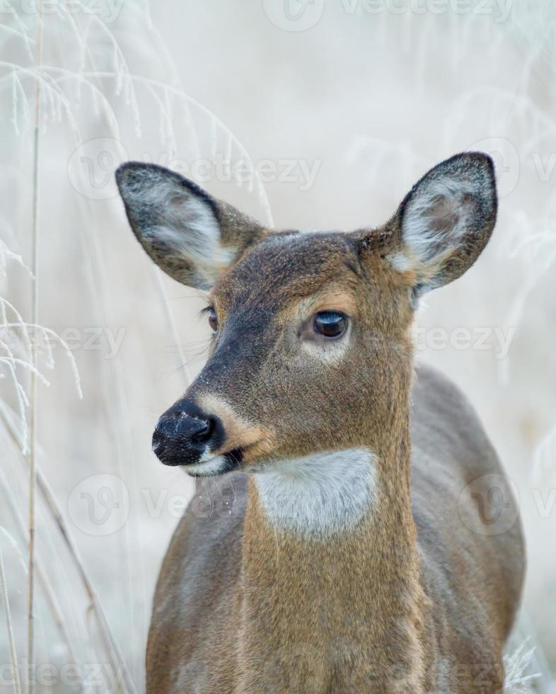 cerf de Virginie dans un champ givré (odocoileus virginianus) photo
