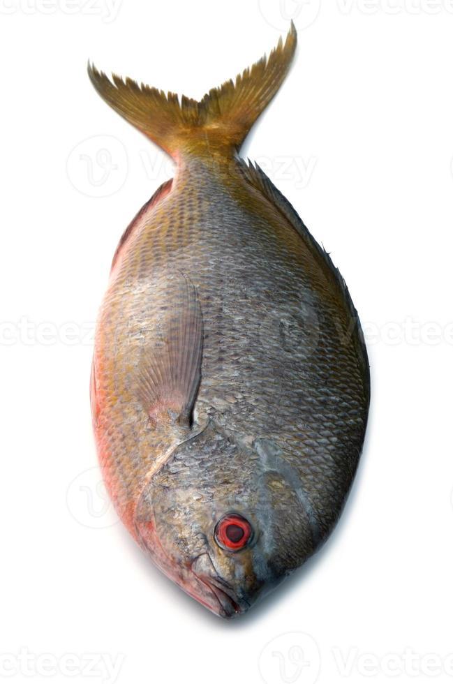 poisson fusilier à queue jaune isolé sur fond blanc photo