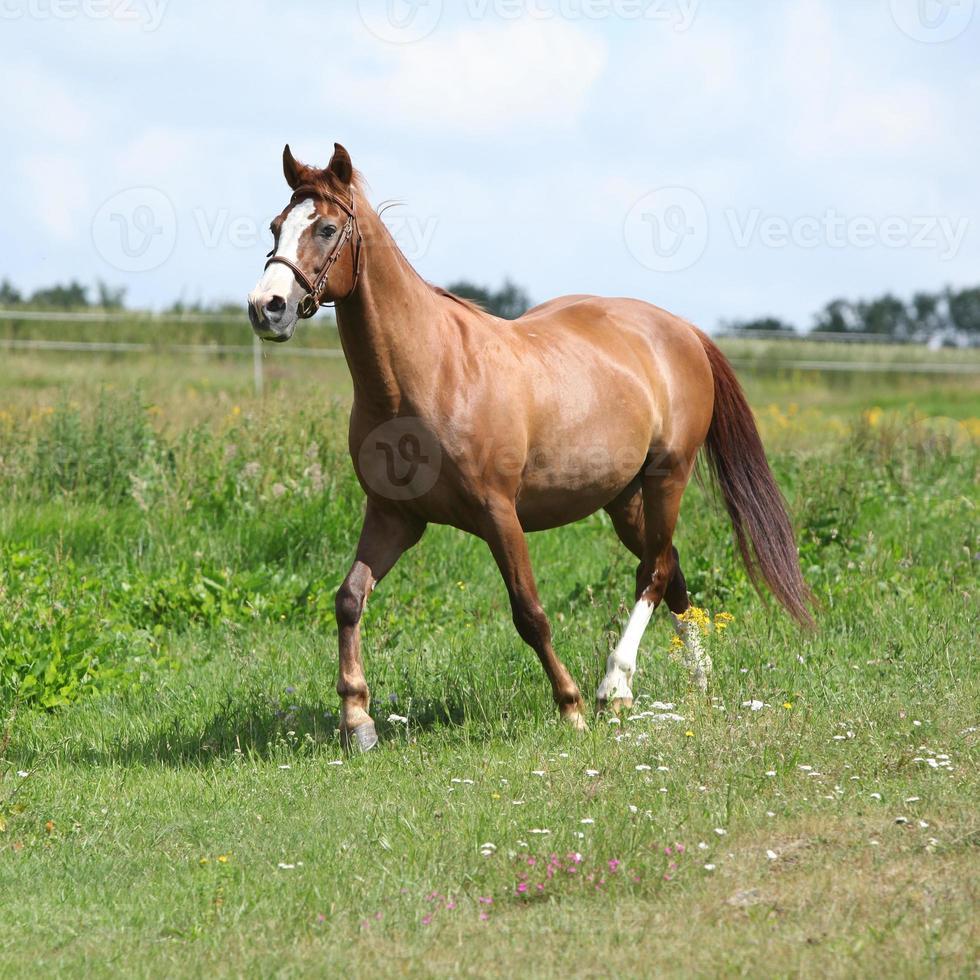 beau cheval alezan qui court sur le pré photo