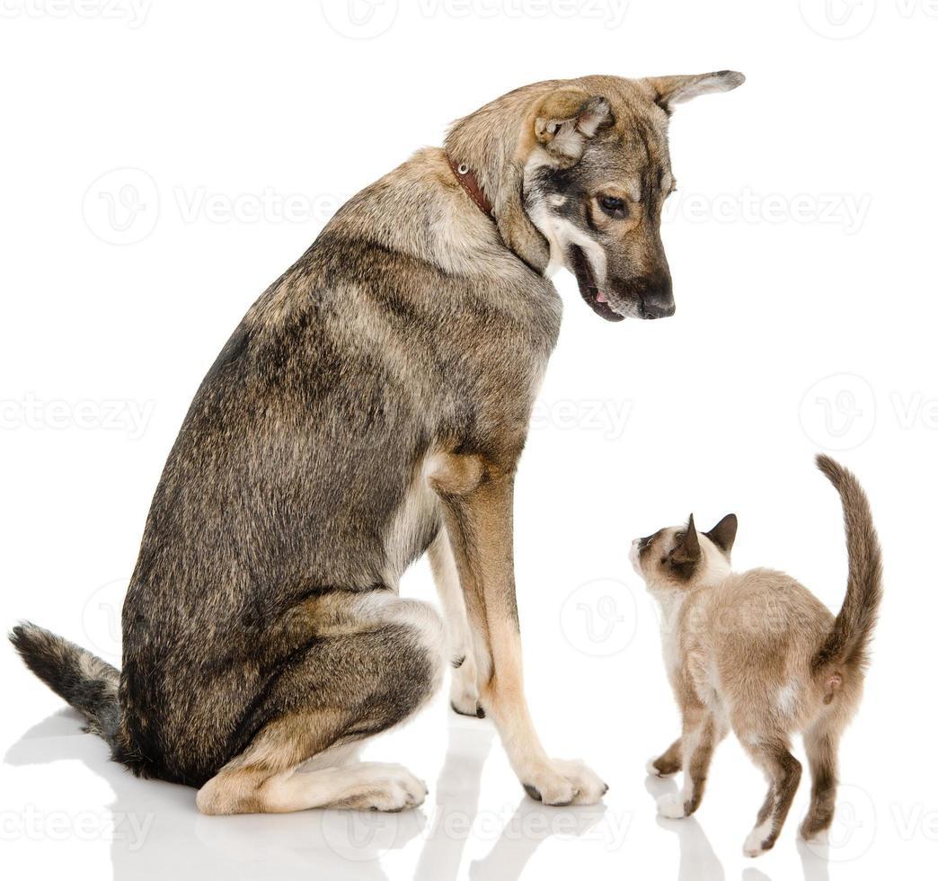 chien et chaton siamois photo