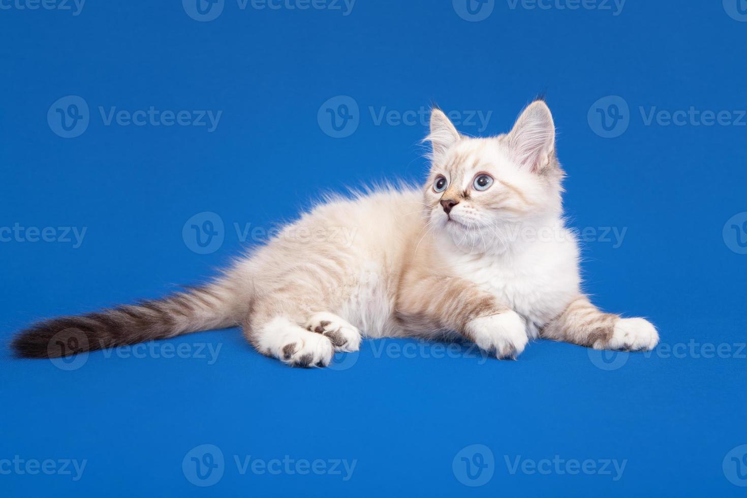 chaton de forêt de Sibérie photo