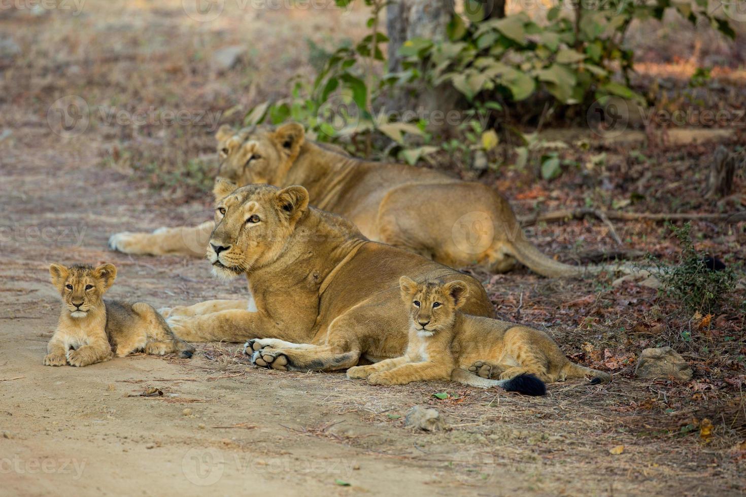 fierté de lion asiatique photo