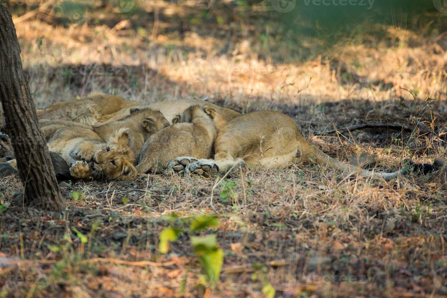 tétons de lionceaux asiatiques photo