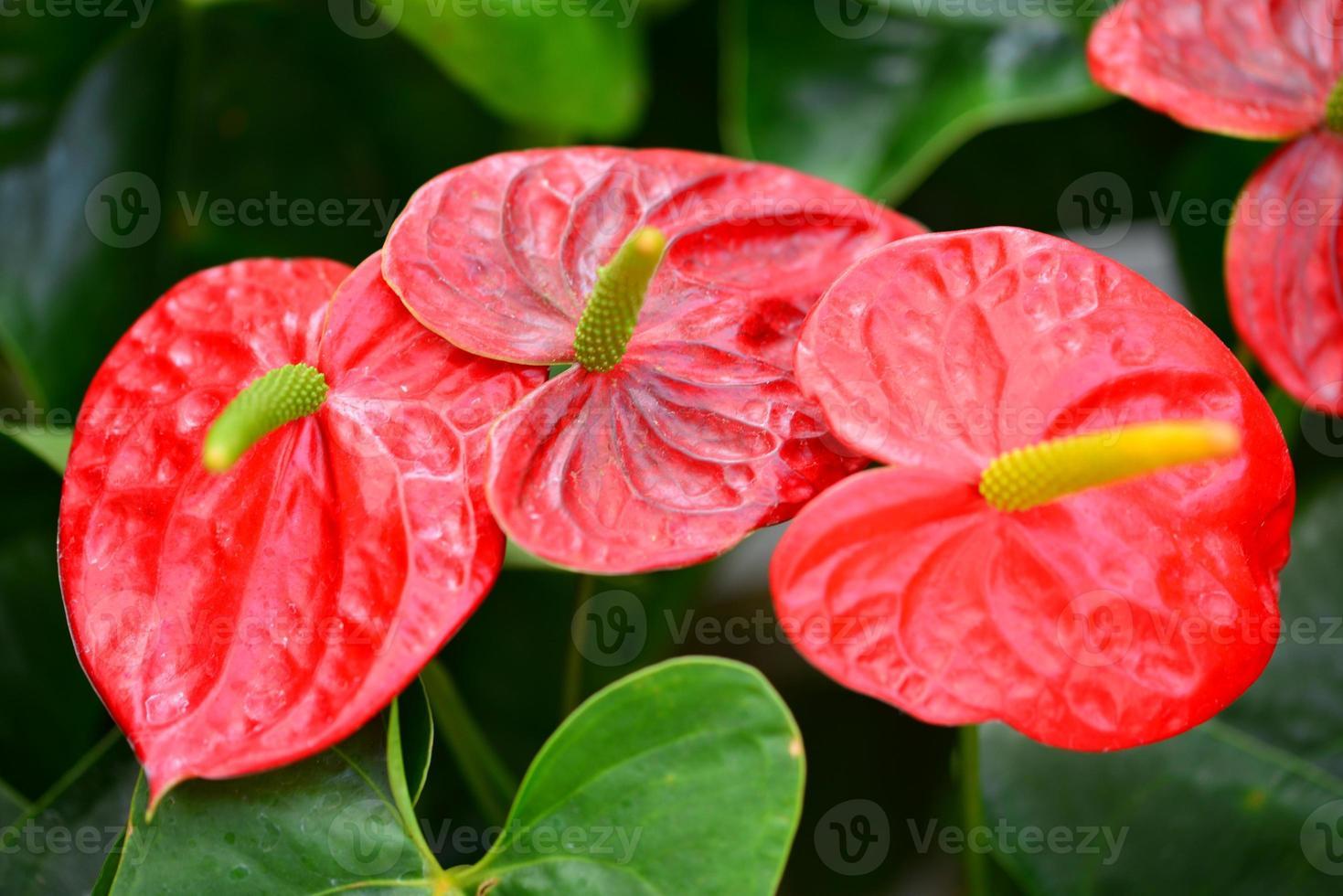 Anthurium andraeanum ou lis flamant rose photo