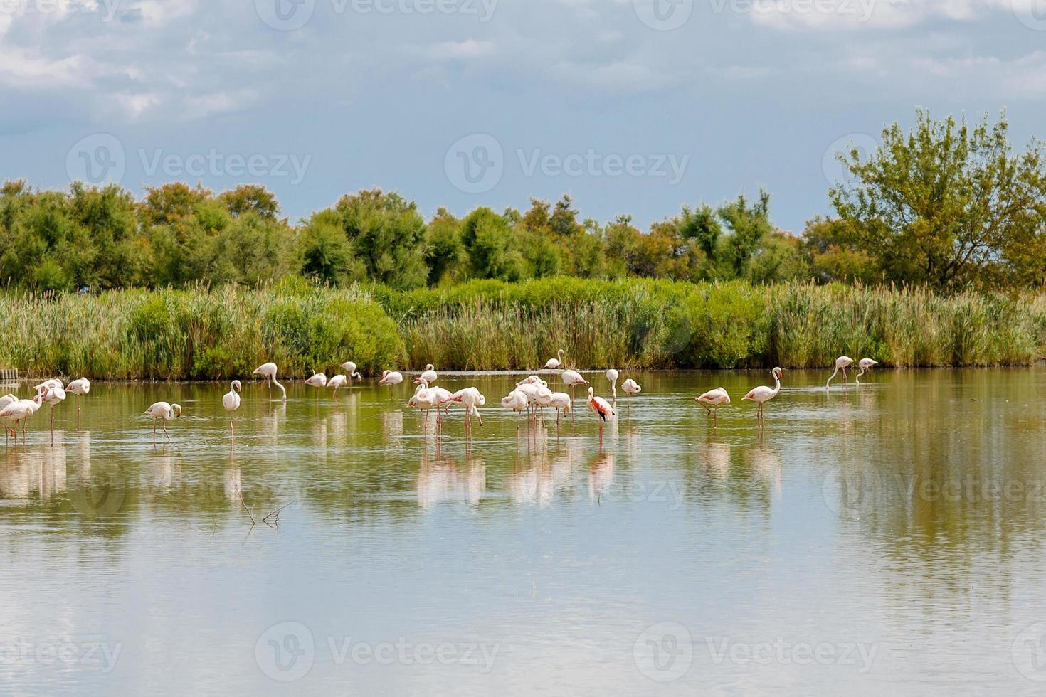 Oiseaux flamants sauvages dans le lac en france, camargue, provence photo