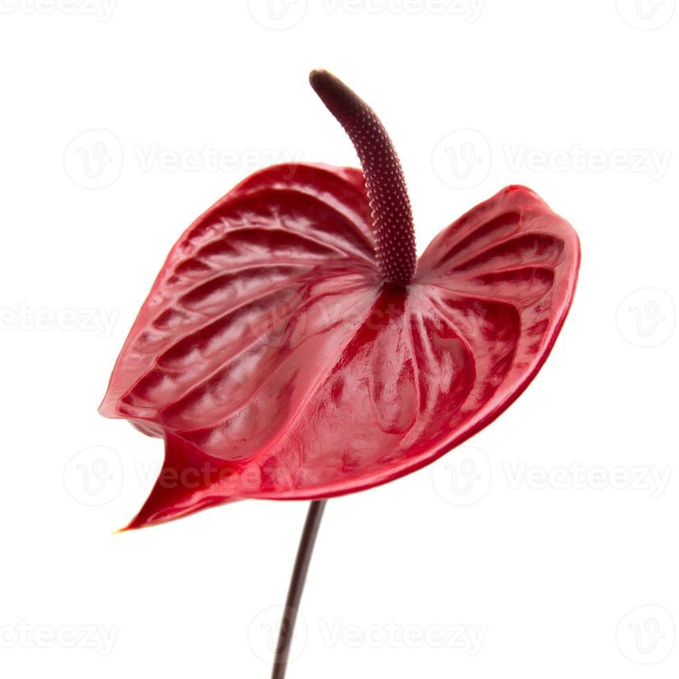 anthurium rouge foncé photo
