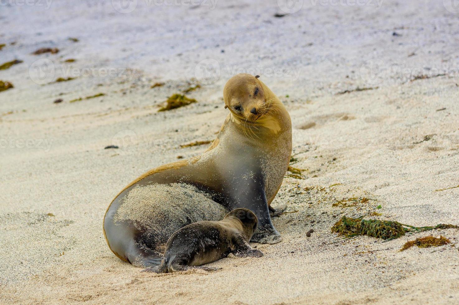 lion de mer dans les îles galapagos de san cristobal photo