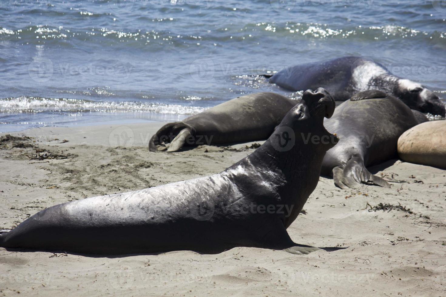 lions de mer sur la plage photo