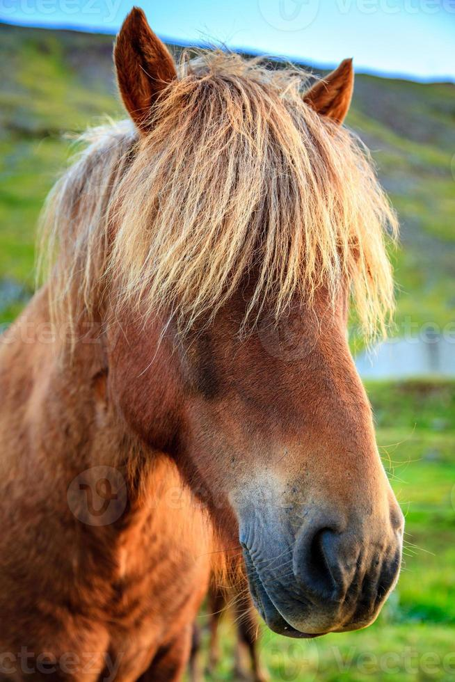 poney islandais photo