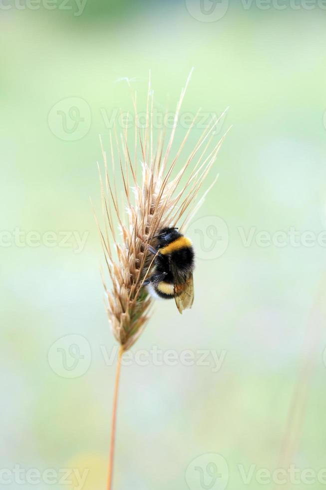 bourdon sur épi de blé photo