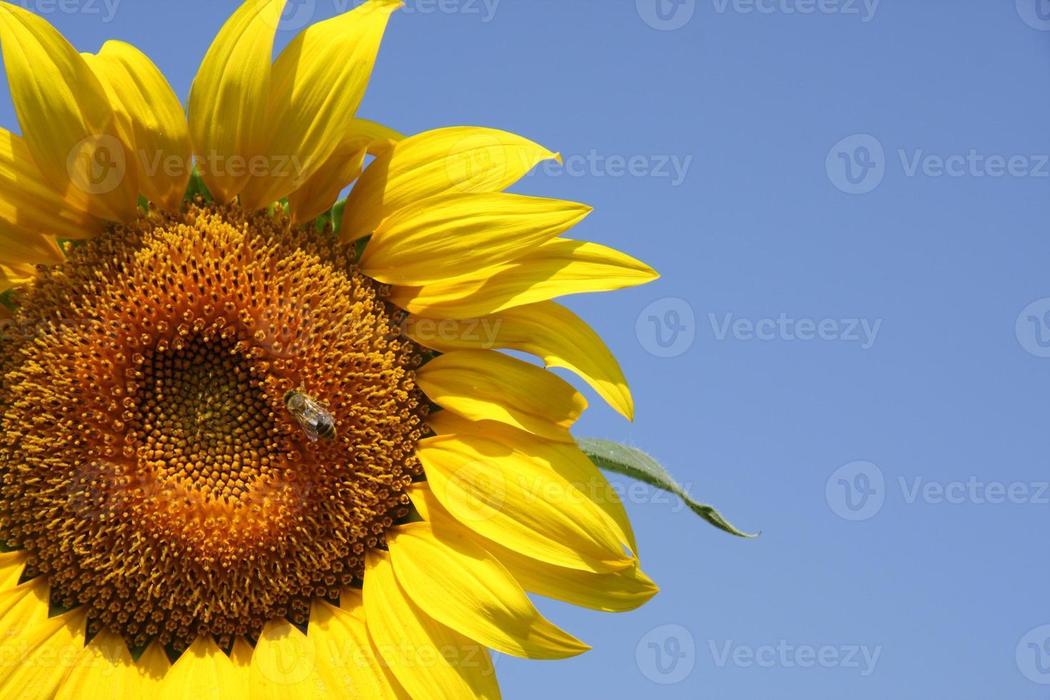 tournesol et abeille photo
