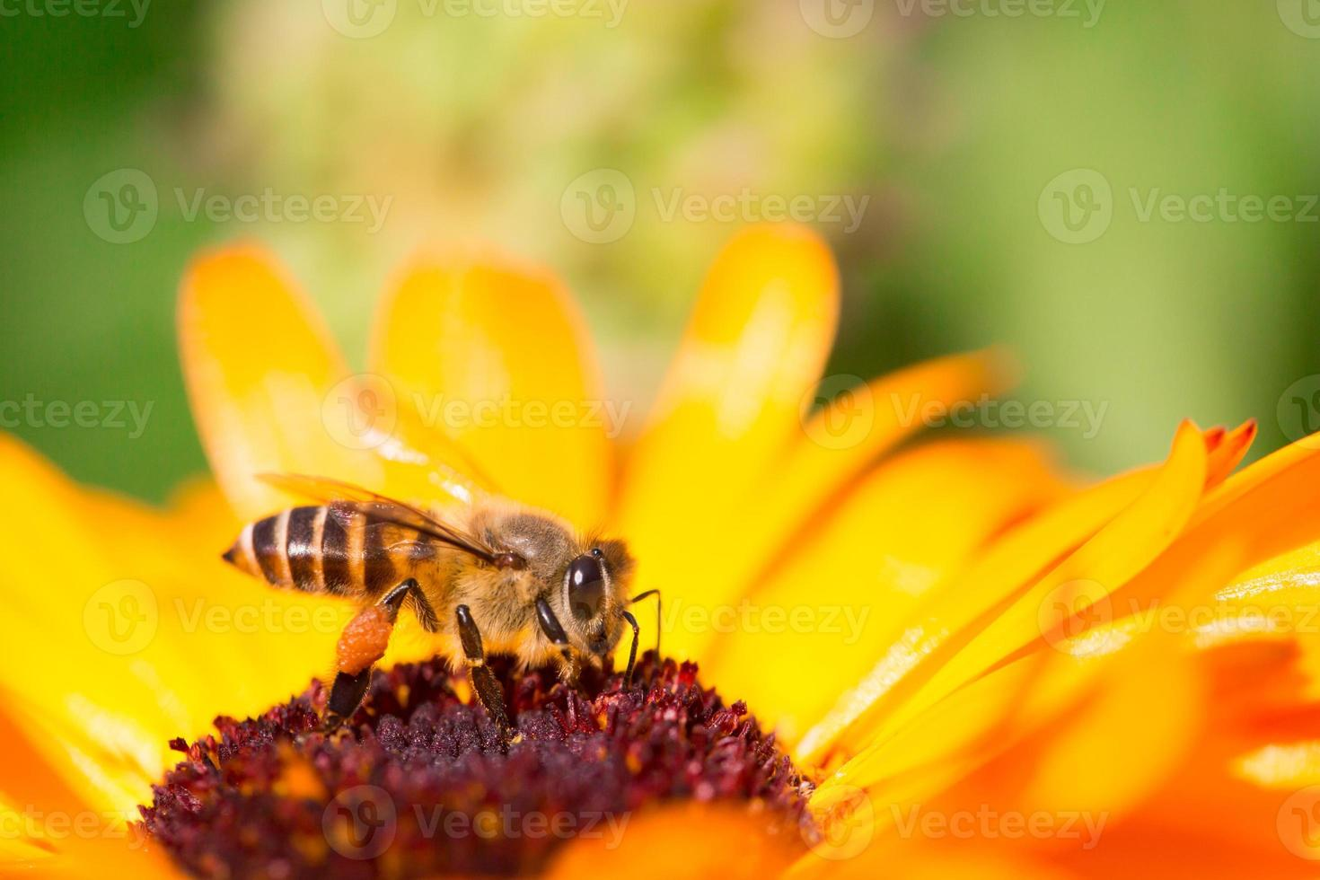 abeille photo