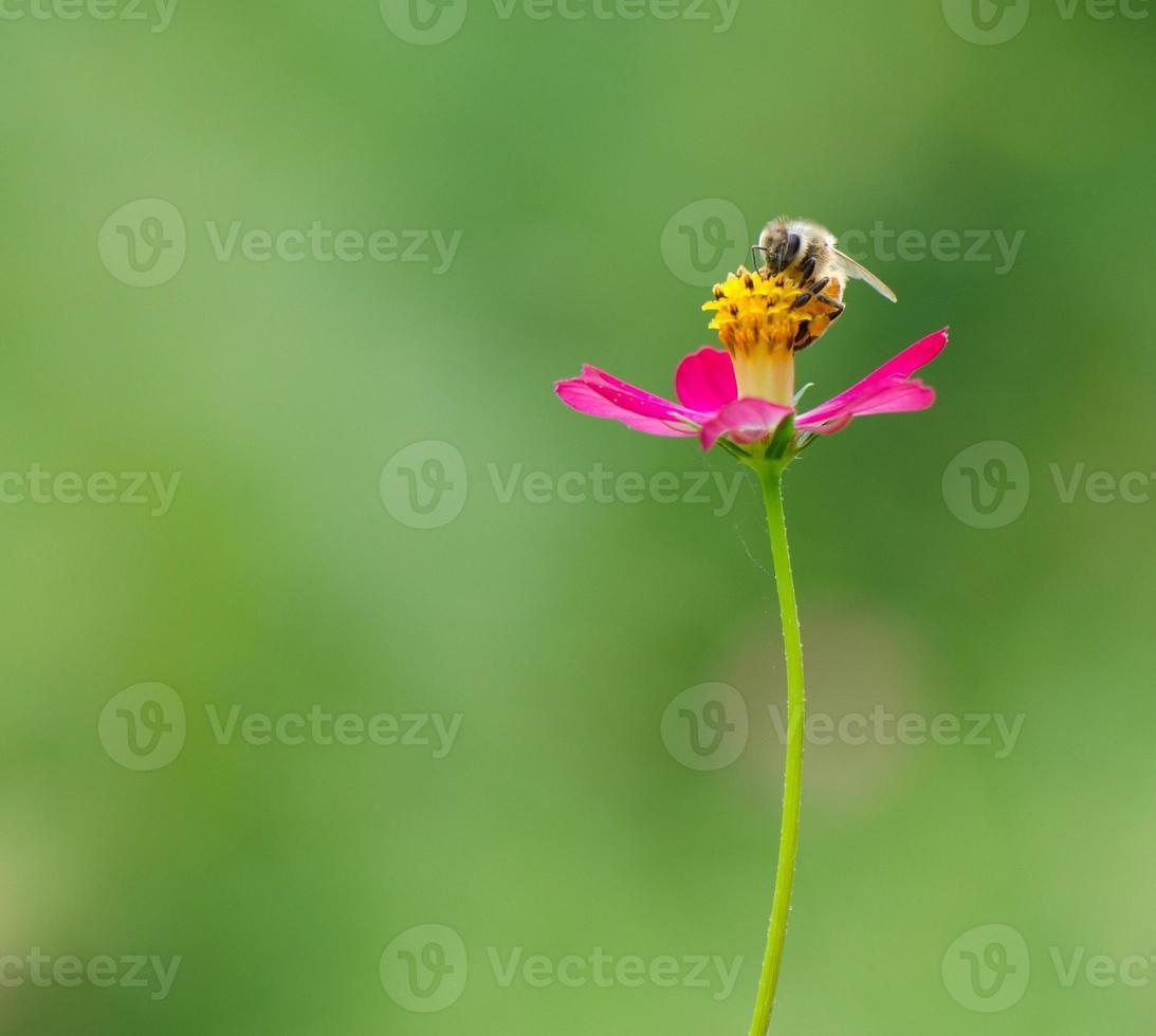 abeille sur fleur cosmos photo