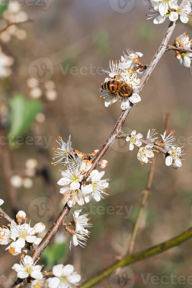 abeille en fleur de prunellier blanc. photo