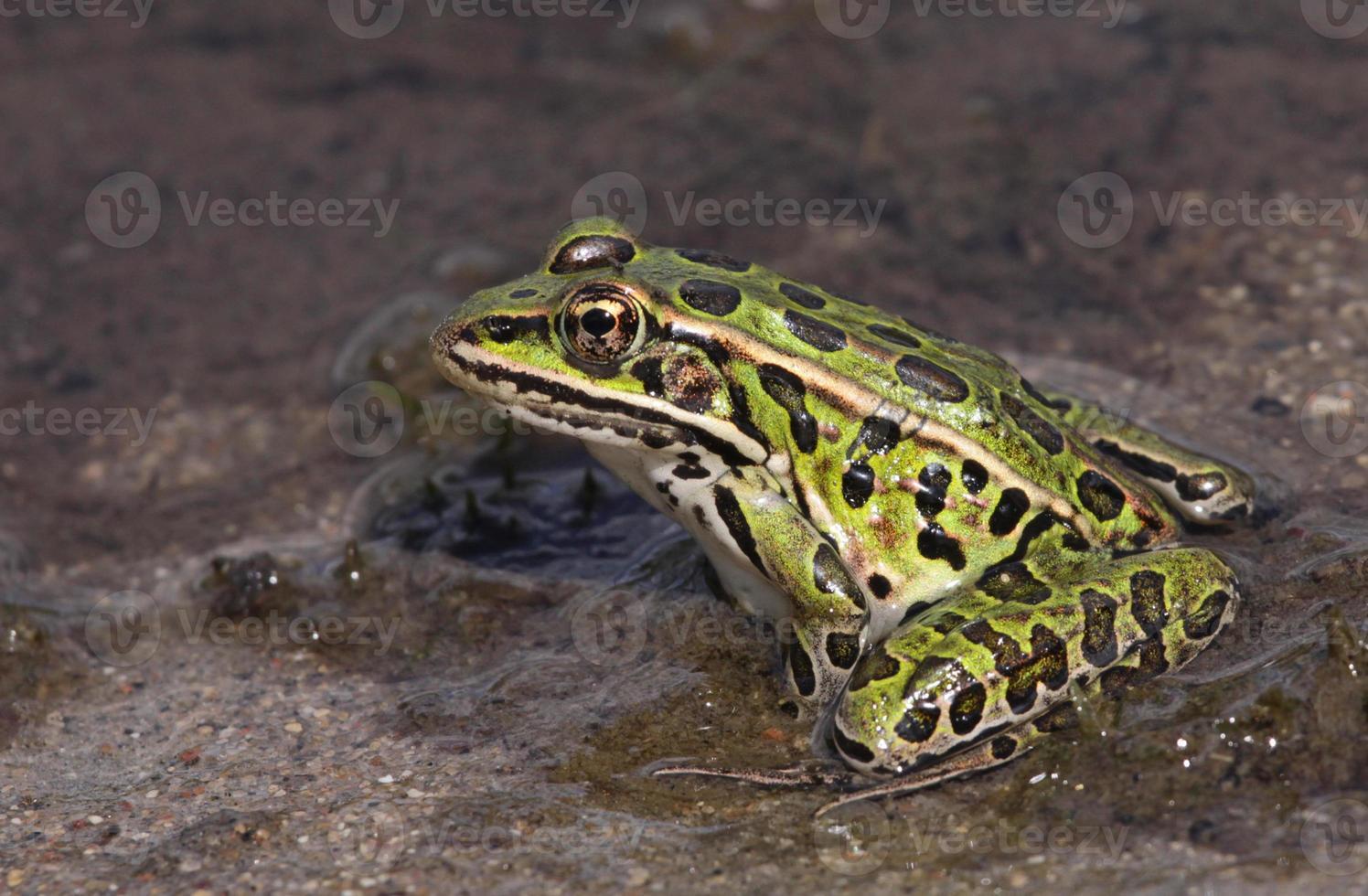 fier grenouille léopard photo