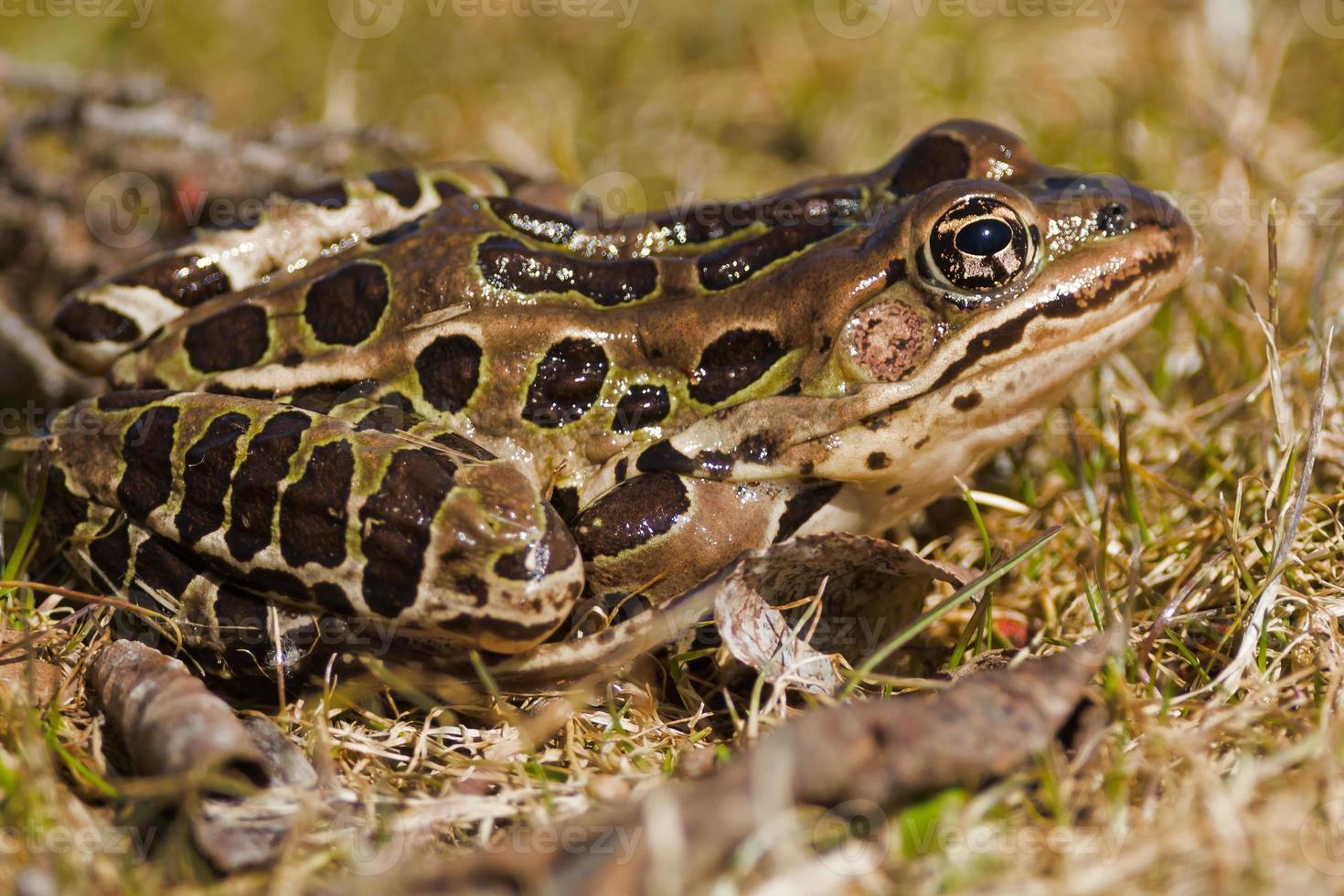 grenouille léopard photo
