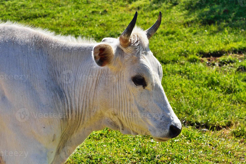 vache blanche photo