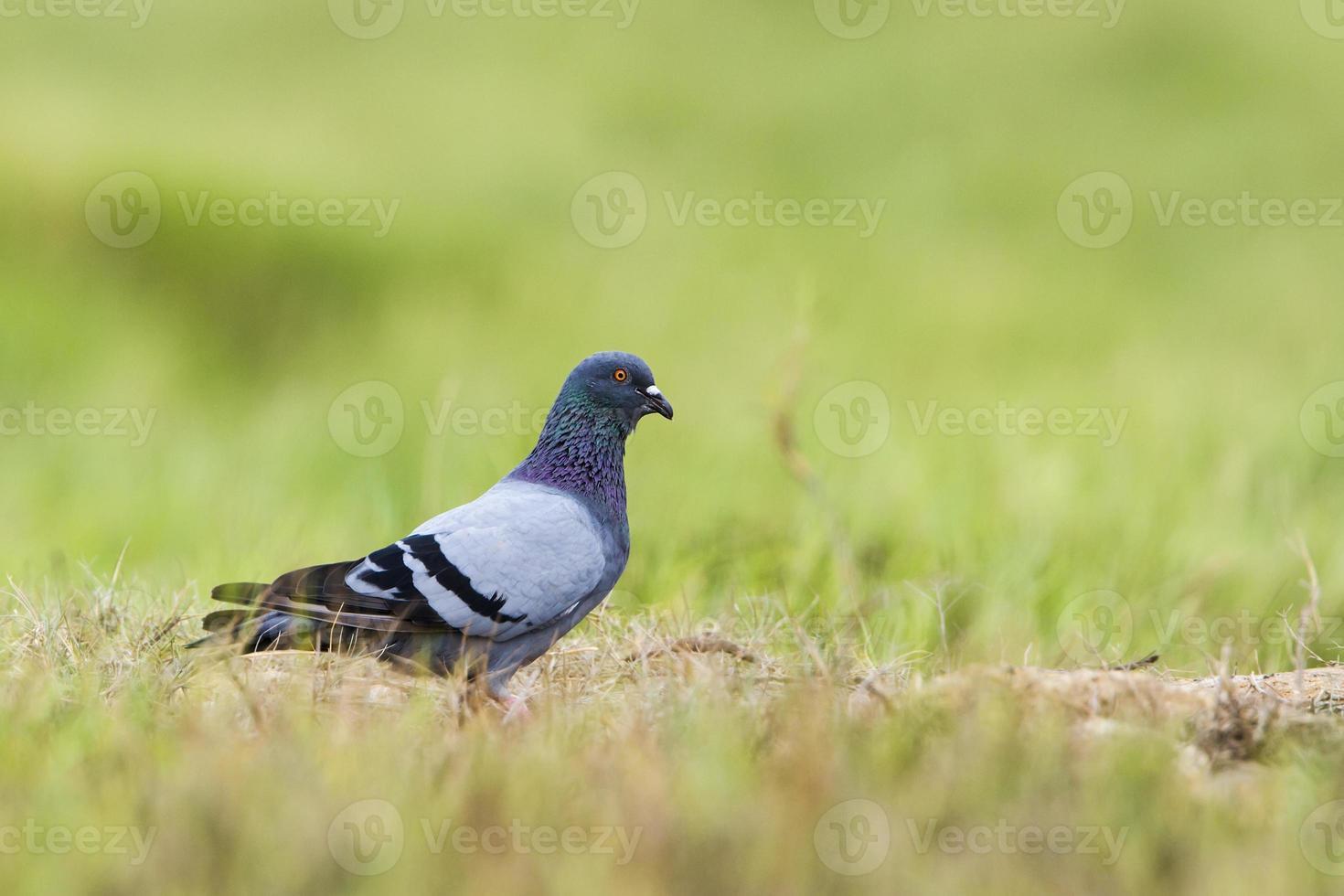 Pigeon biset à Pottuvil, Sri Lanka photo
