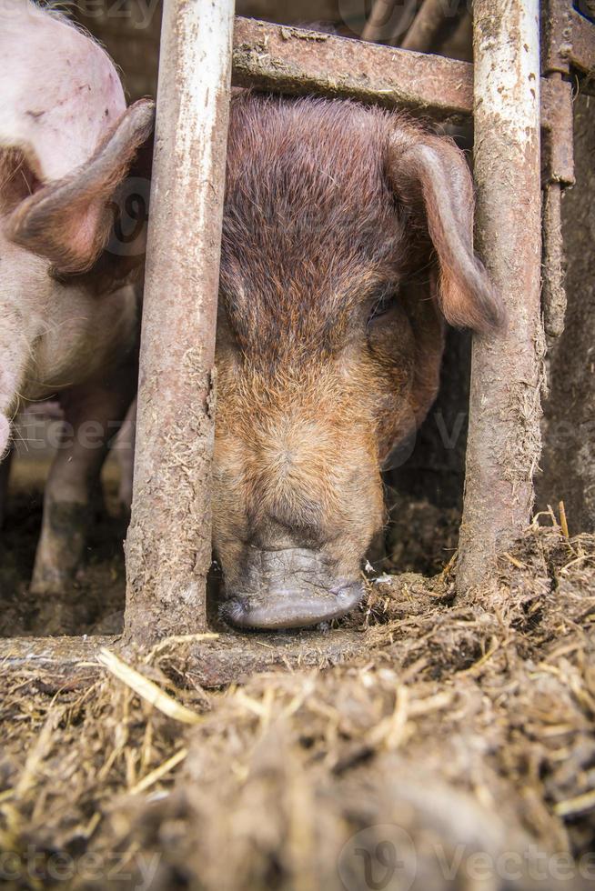 cochon sale. photo