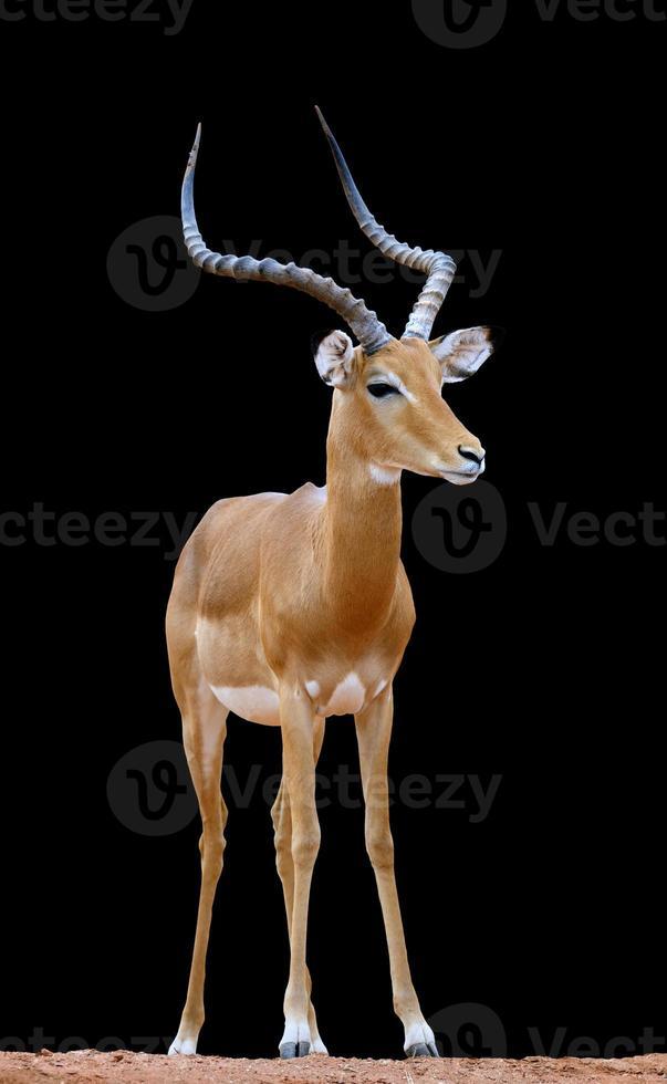 impala sur fond sombre photo
