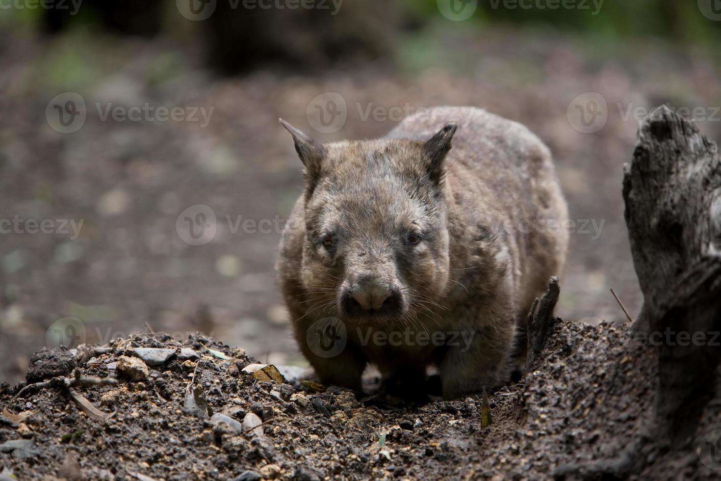 wombat au nez poilu australien photo