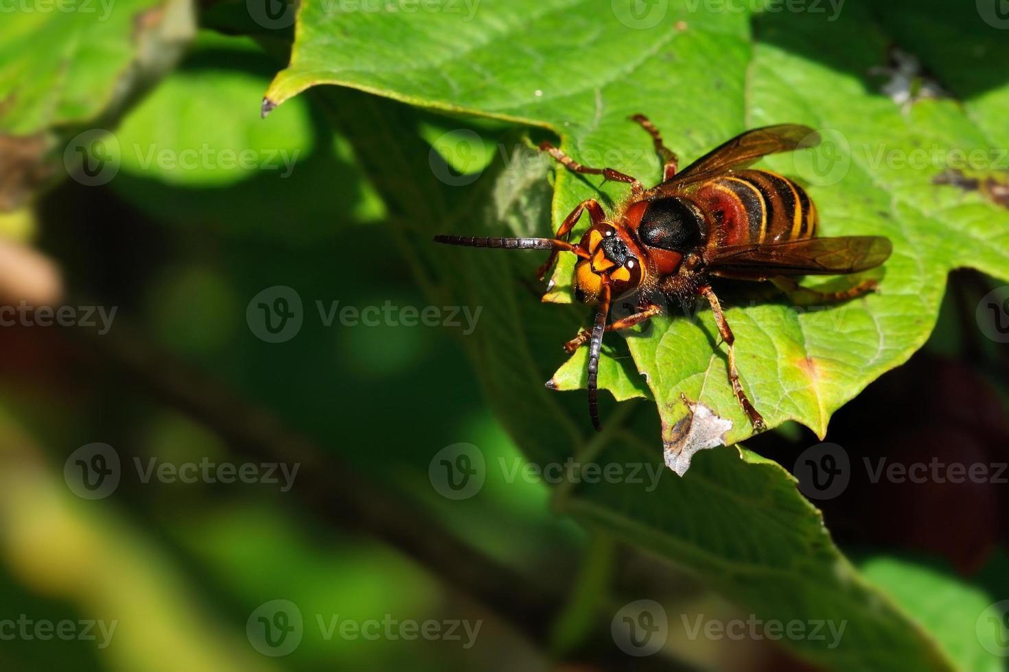vespa crabro photo