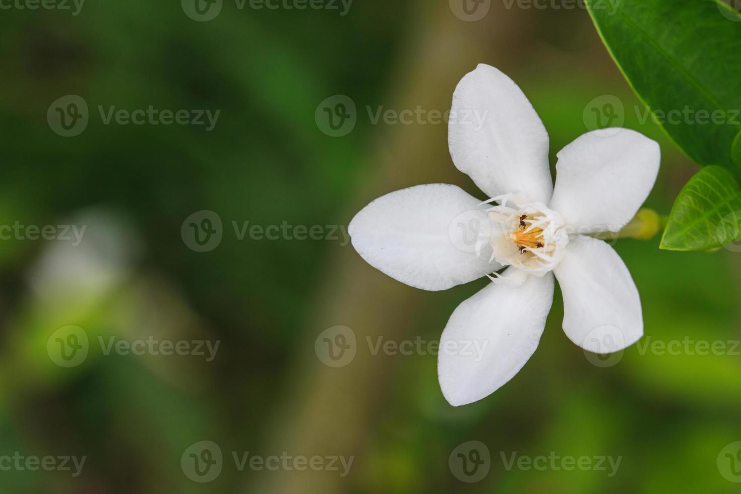 fleur de gardénia photo